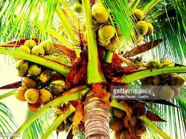 Low angle view of a coconut tree