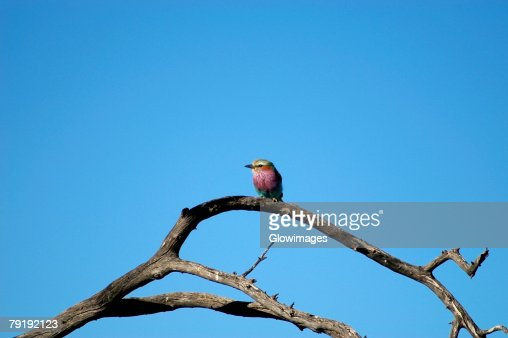 Low angle view of a Lilac-Breasted Roller (Coracias caudata) perching on a tree branch, Kalahari Desert, Botswana : Foto de stock