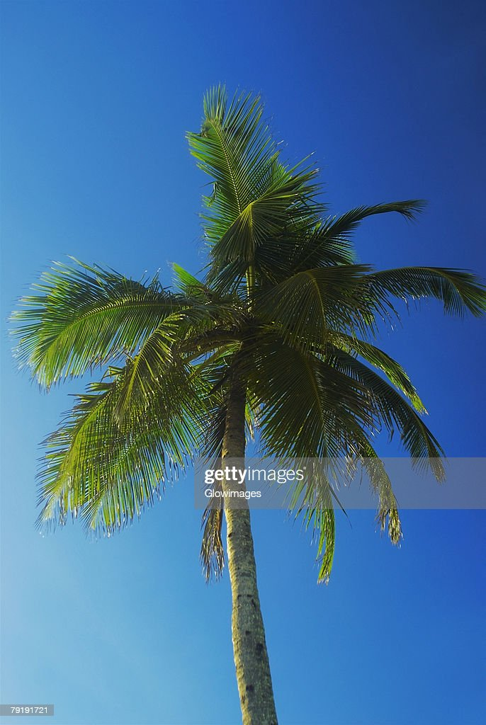 Low angle view of a palm tree, Providencia, san Andres Providencia y Santa Catalina, San Andres y Providencia Department, Colombia : Foto de stock