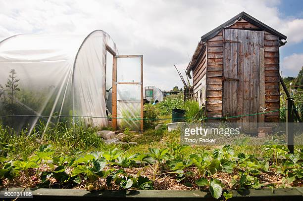 A low angle view of a slightly raised bed of strawberry plants on straw in front of a wooden shed and a poly tunnel on an urban allotment in Bristol