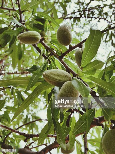 Low Angle View Of Almonds On Tree