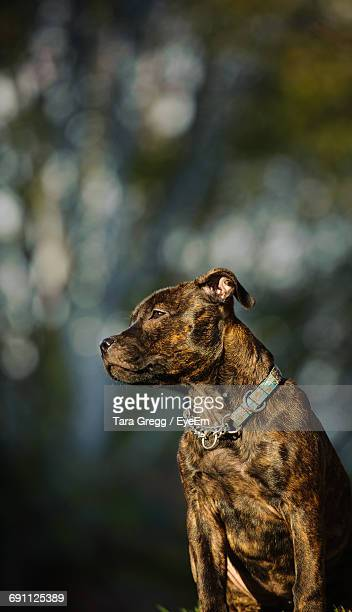 Low Angle View Of American Pit Bull Terrier