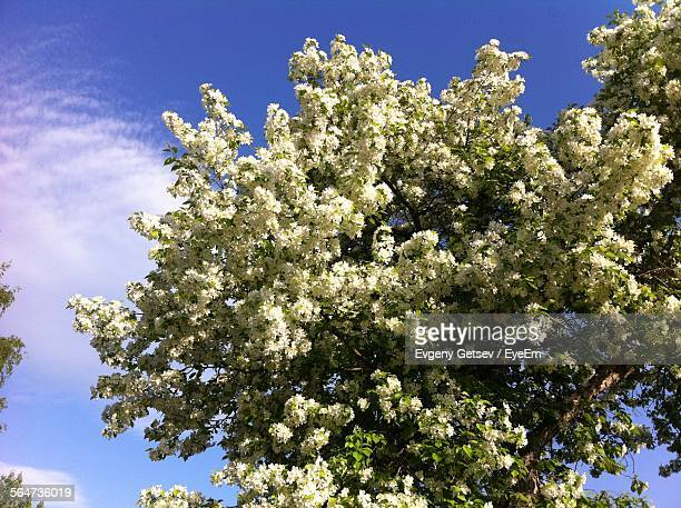 Low Angle View Of Apple Blossom Blooming On Tree Against Sky