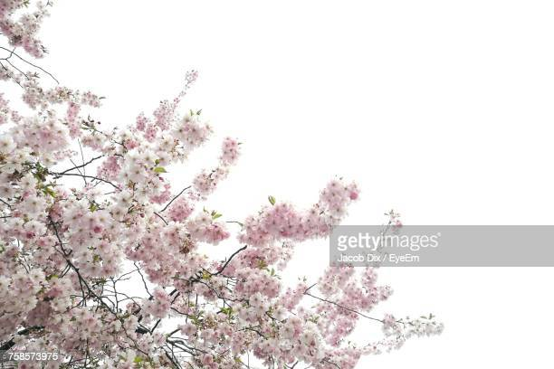 Low Angle View Of Apple Blossoms In Spring Against Clear Sky