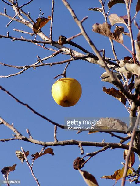 Low Angle View Of Apple Hanging With Dry Leaves On Twig Against Sky