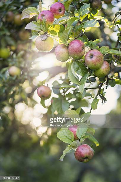 Low angle view of apples growing in orchard