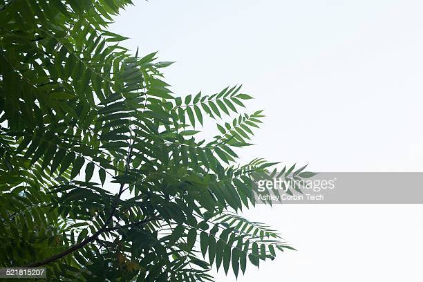 Low angle view of ash tree leaves and sky