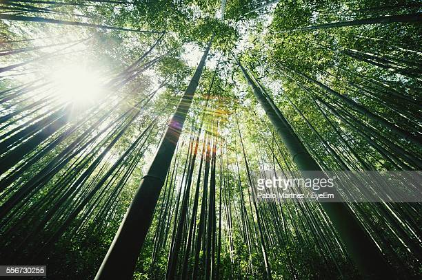 Low Angle View Of Bamboos In Forest