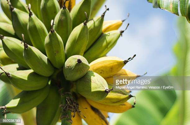 Low Angle View Of Banana Growing On Tree
