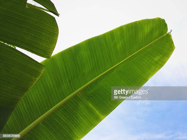 Low Angle View Of Banana Tree Leaves Against Cloudy Sky