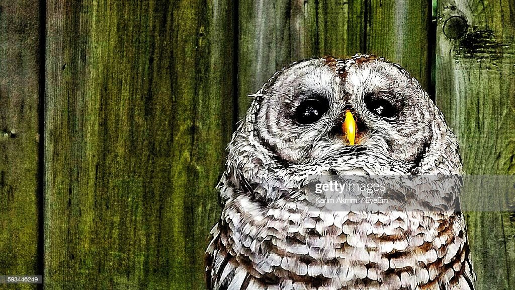 Low Angle View Of Barred Owl Against Wooden Planks