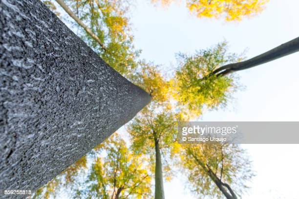 Low angle view of beech forest in fall