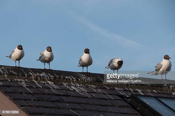 Low Angle View Of Black-Headed Gulls Perching On Roof Against Sky