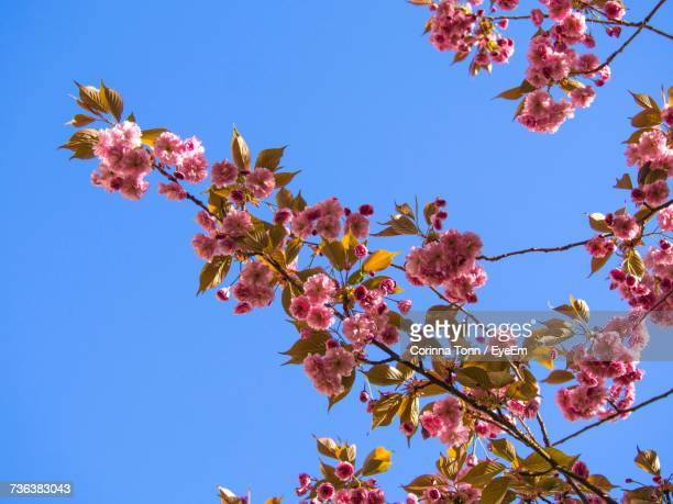 Low Angle View Of Blooming Tree Against Blue Sky