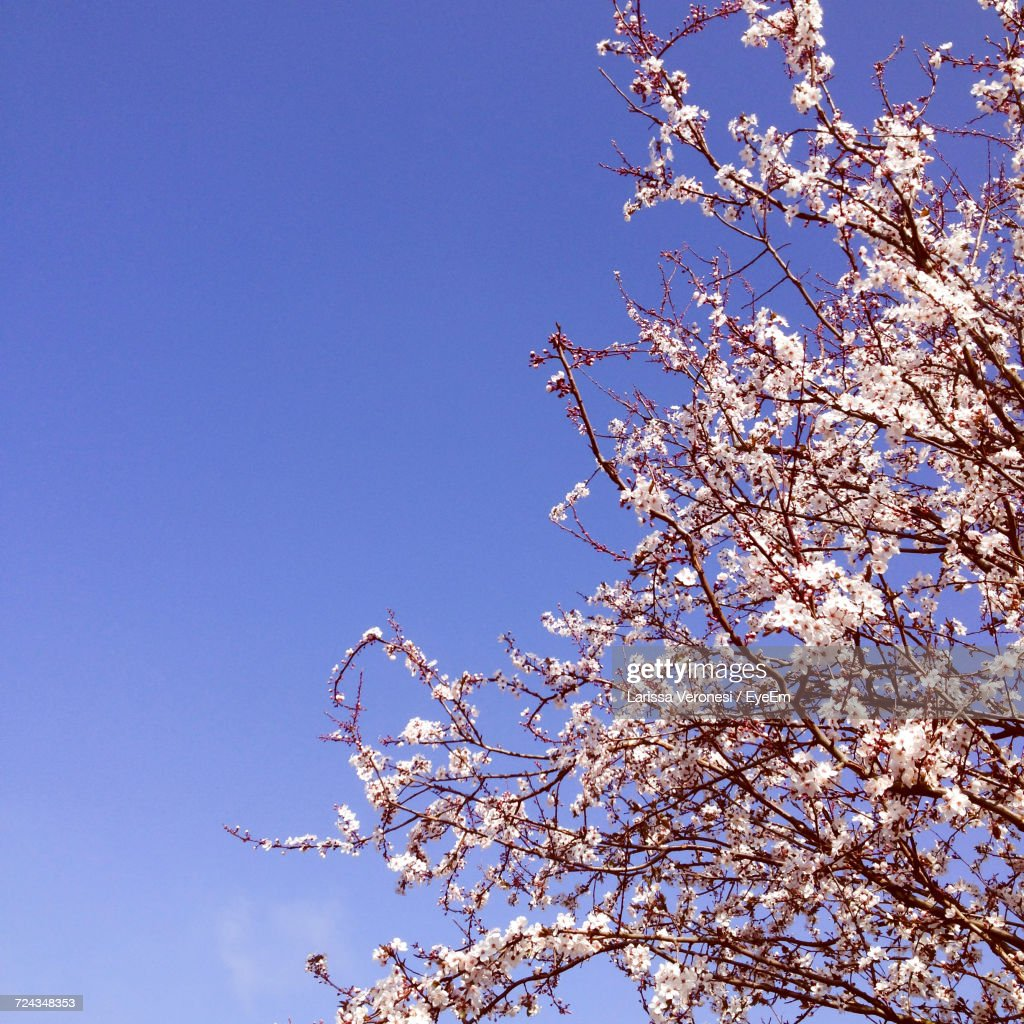 Low Angle View Of Blossom Tree Against Blue Sky : Stock-Foto