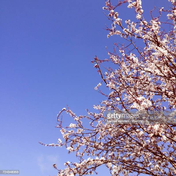 Low Angle View Of Blossom Tree Against Blue Sky