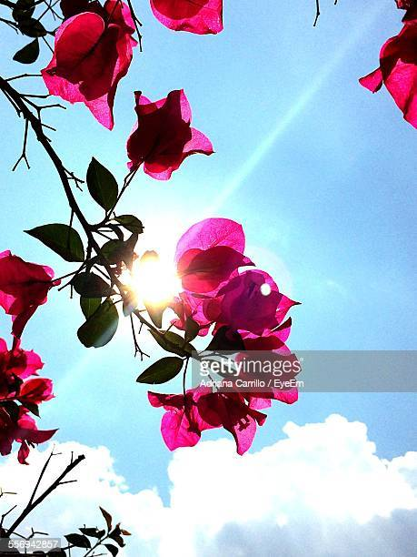 Low Angle View Of Bougainvillea Against Sky