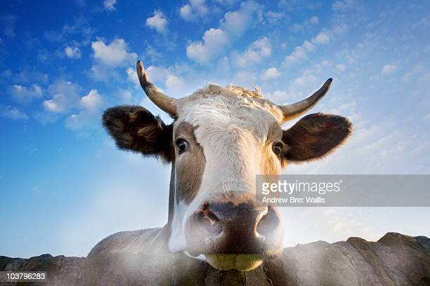 Low angle view of bull snorting steam over a wall