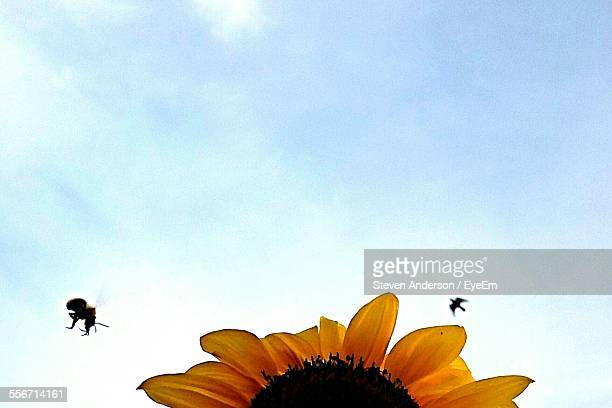 Low Angle View Of Bumblebee Buzzing Around Sunflower Against Sky