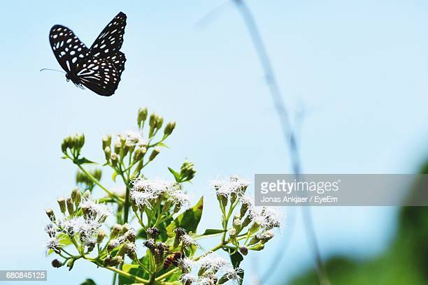 Low Angle View Of Butterfly Flying Near White Flowers Against Sky