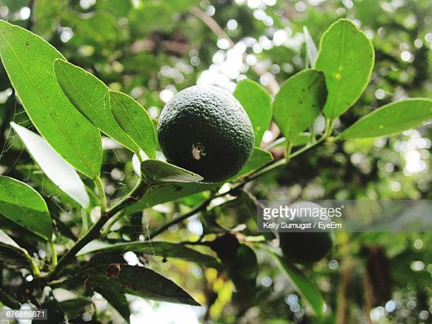 Low Angle View Of Calamansi On Tree