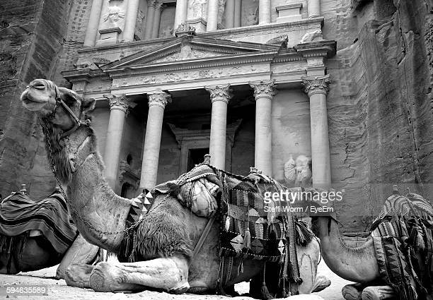 Low Angle View Of Camels In Front Of Khaznet