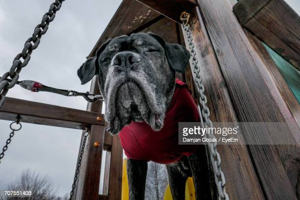 Low Angle View Of Cane Corso Dog Standing In Jungle Gym At Park