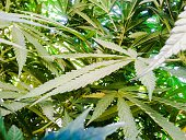 Low Angle View Of Cannabis Plants Growing Outdoors