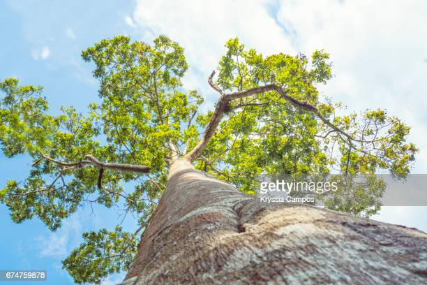 Low angle view of Ceiba Tree, Costa Rica