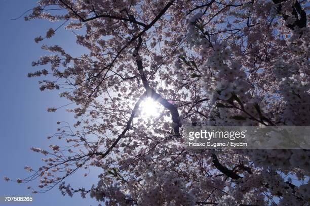 Low Angle View Of Cherry Blossom Trees Against Sky