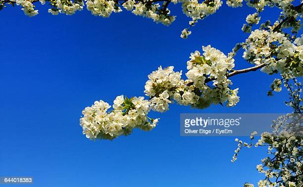 Low Angle View Of Cherry Blossoms Against Clear Sky