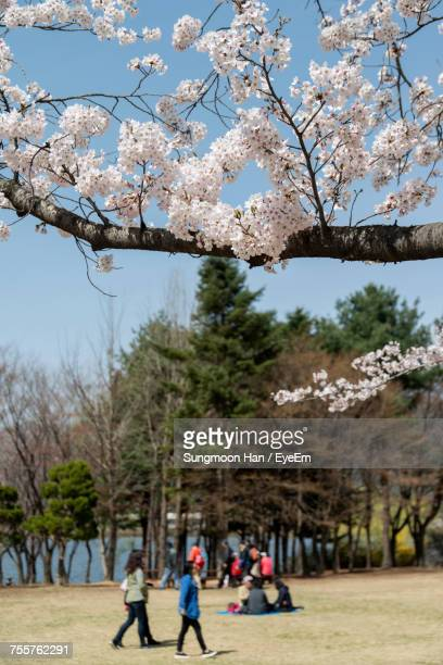 Low Angle View Of Cherry Blossoms At Seoul Grand Park