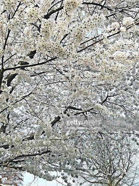 Low Angle View Of Cherry Trees