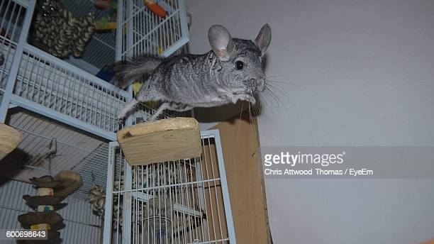 Low Angle View Of Chinchilla Jumping From Cage At Home