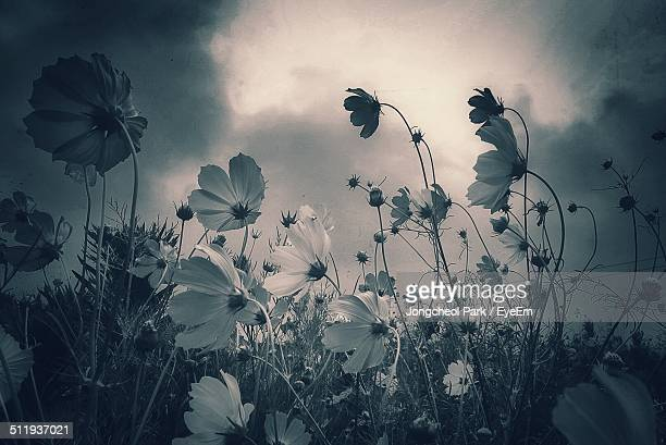 Low angle view of cosmos flowers against sky