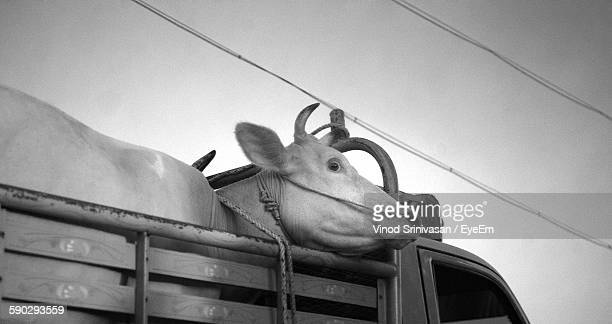 Low Angle View Of Cow Loaded In Truck