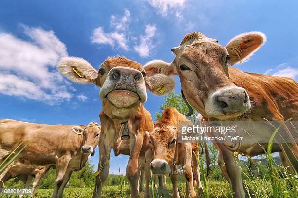 Low Angle View Of Cows On Grass Against Sky