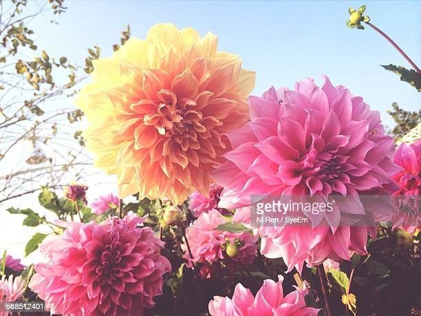 Low Angle View Of Dahlias Blooming Against Clear Sky