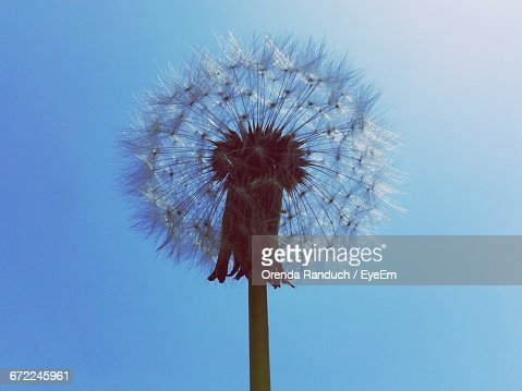 Low Angle View Of Dandelion