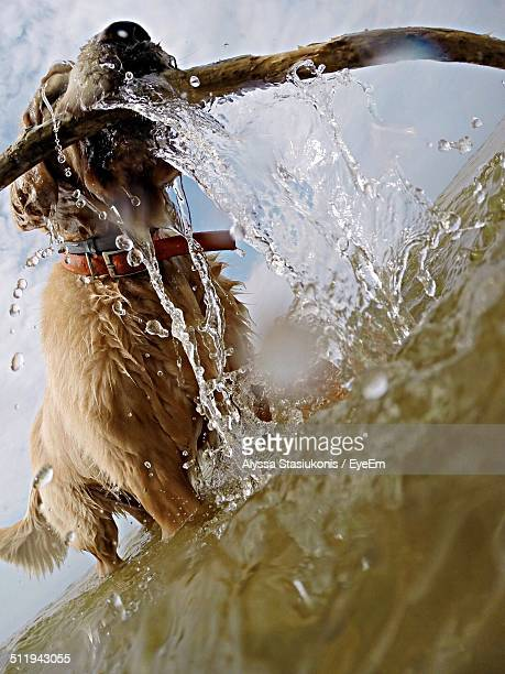 Low angle view of dog with stick running in water