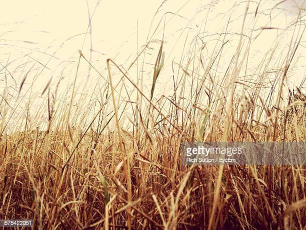 Low Angle View Of Dry Grass Against Sky