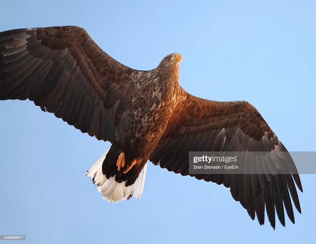 Low Angle View Of Eagle In Flight