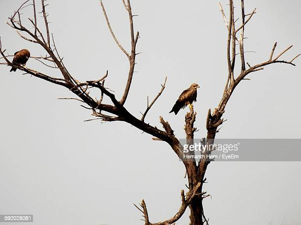 Low Angle View Of Eagles Perching On Bare Tree Against Clear Sky