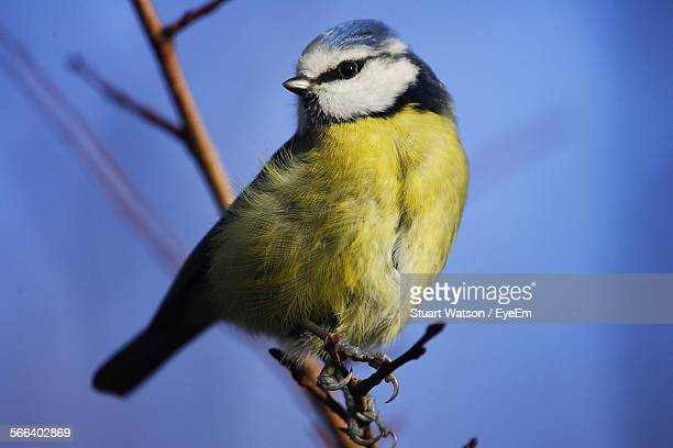 Low Angle View Of Eurasian Bluetit Against Clear Blue Sky