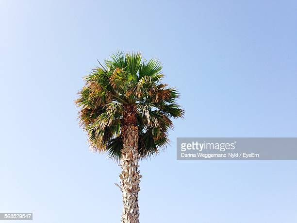 Low Angle View Of Fan Palm Tree