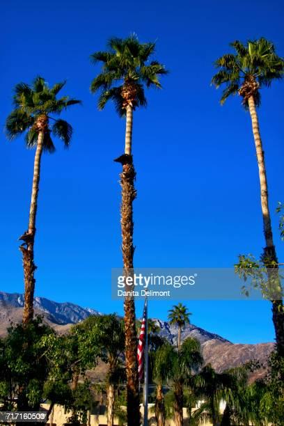 fan palm trees. low angle view of fan palm trees (washingtonia filifera), springs, california