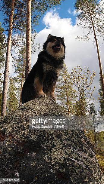Low Angle View Of Finnish Lapphund On Rock Against Sky