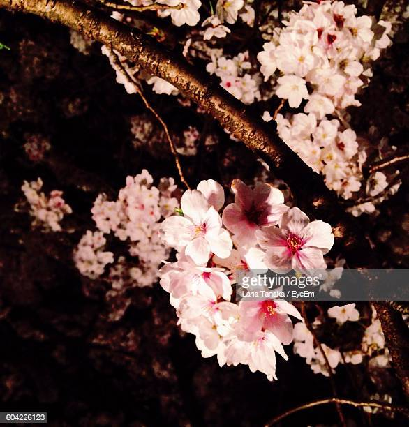 Low Angle View Of Flowers Growing On Tree Against Sky At Night