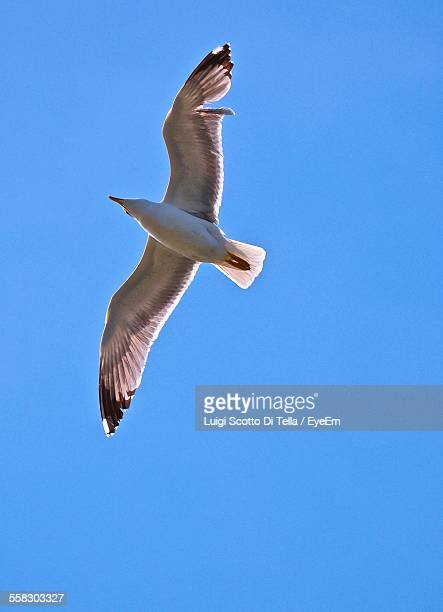 Low Angle View Of Flying Seagull With Spread Wings