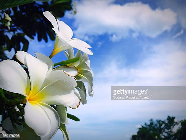 Low Angle View Of Frangipanis Blooming On Tree Against Sky